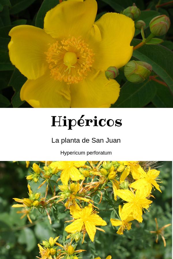 hipéricos en flor