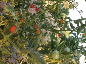 los tomates madurando huerto
