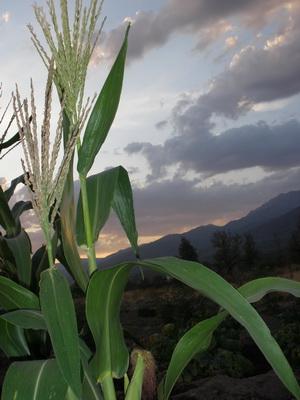 el maíz del huerto