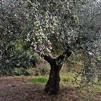 El olivar blog dn