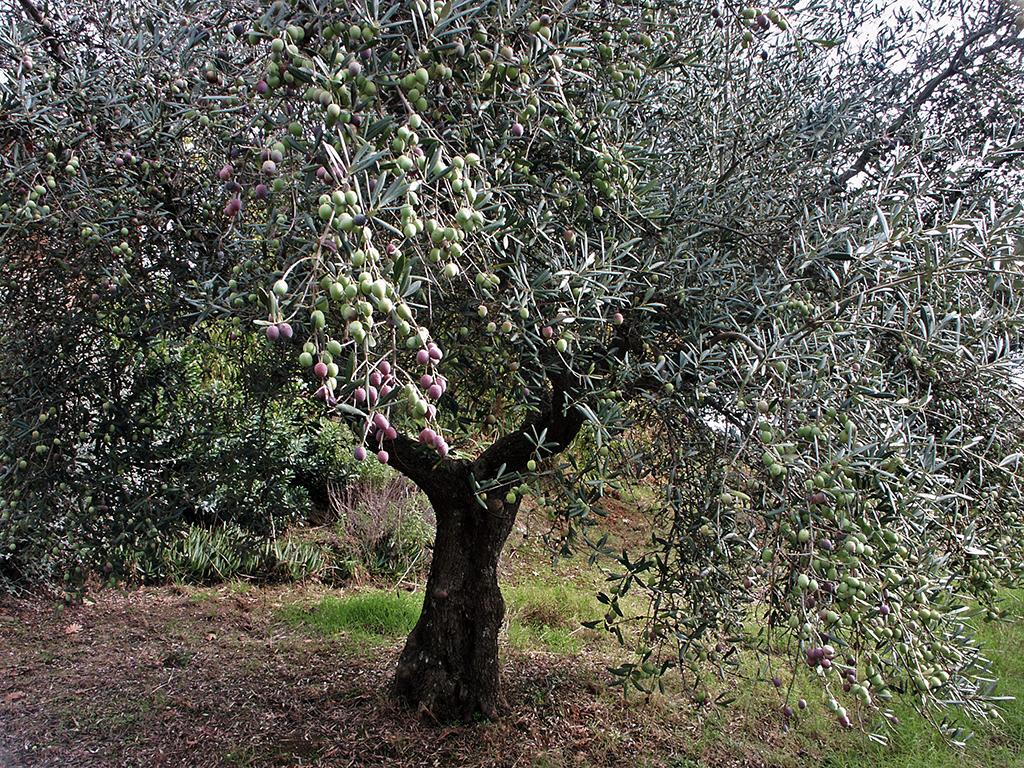 el olivo blog dn