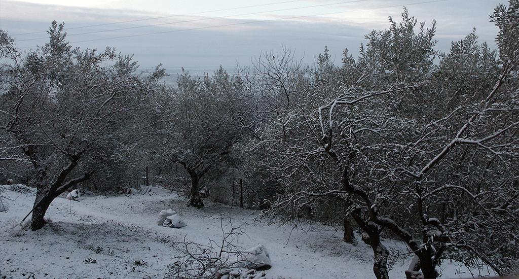 El olivar nevado dn