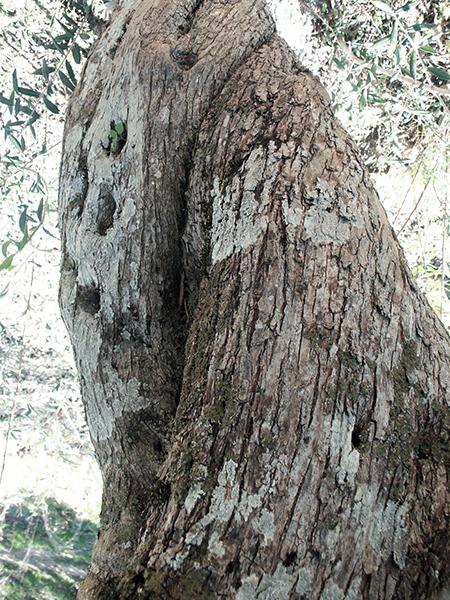 tronco olivo 1 dn